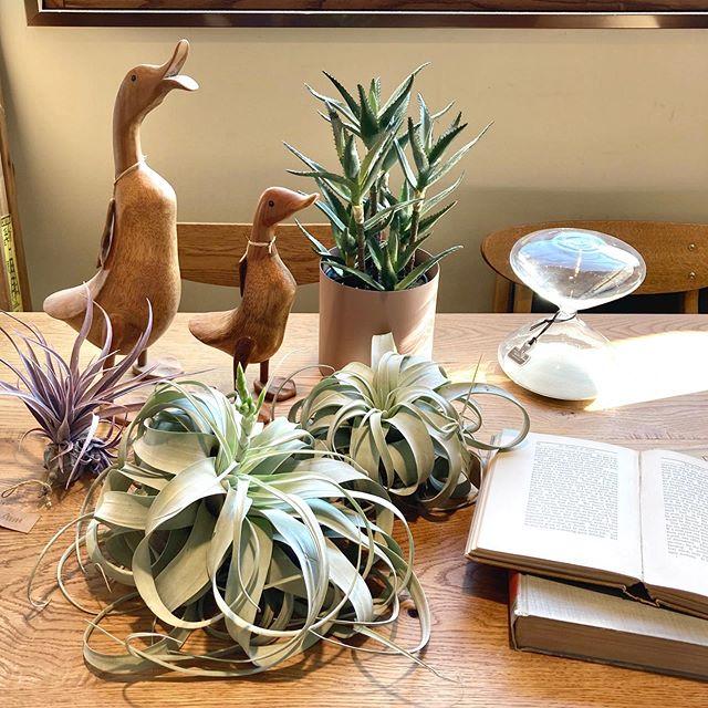 【 植物紹介 】『キセログラフィカ』くるりと丸まった葉がかわいい大型のエアプランツです。1つでも存在感抜群!吊るしたり、そのまま置くだけでもおしゃれなインテリアに♪